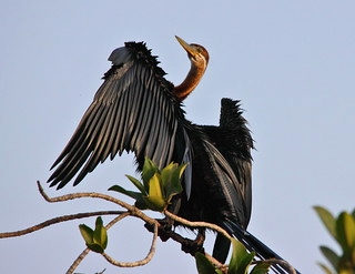 African Darters in Samburu