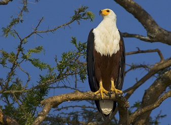 African Fish Eagle in Samburu