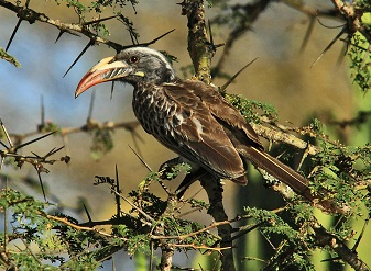 African Grey Hornbills in Samburu