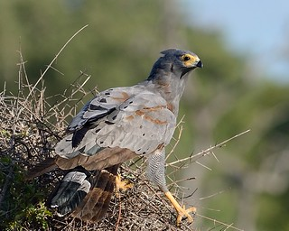 African Harrier Hawks in Samburu