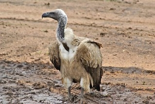 African White Backed Vultures in Samburu