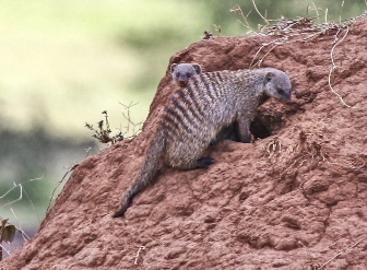 Banded Mongoose in Samburu