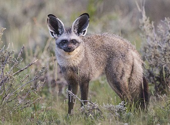 Bat Eared Fox in Samburu