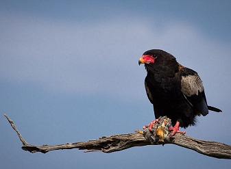 Bateleur Eagle in Samburu