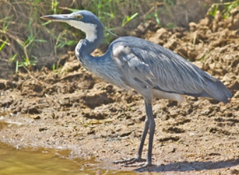 Black Headed Heron in Samburu