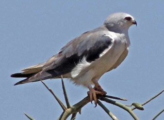 Black Winged Kite in Samburu