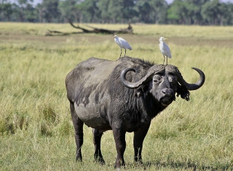 African Buffalo in Samburu