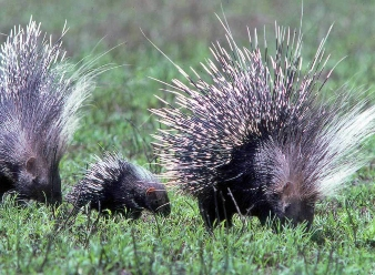 Crested Porcupine in Samburu