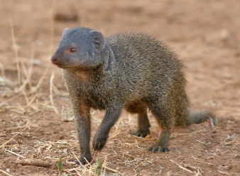 Dwarf Mongoose in Samburu