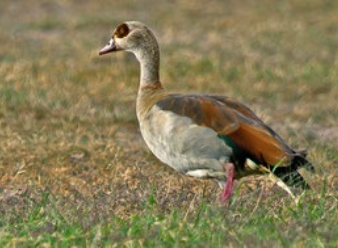 Egyptian Gooses in Samburu