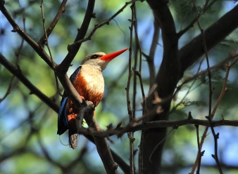 Grey Headed Kingfishers in Samburu