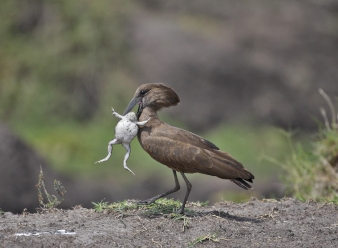 Hamerkop in Samburu