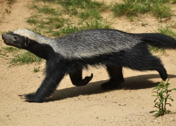 Honey Badgers in Samburu