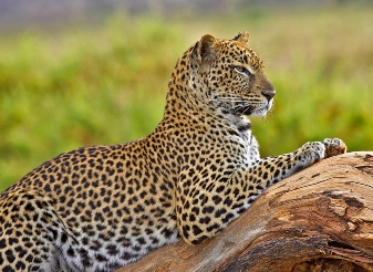 Leopards in Samburu