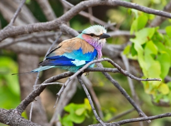 Lilac Breasted Rollers in Samburu