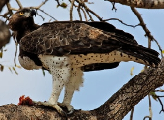 Martial Eagles in Samburu