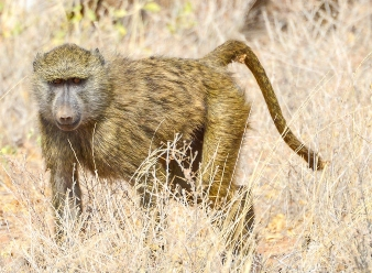 Olive Baboons in Samburu