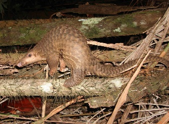 Pangolins in Samburu