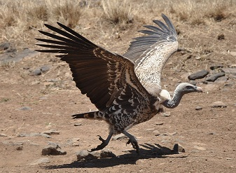 Ruppell's Vultures in Samburu