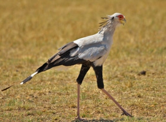 Secretary Birds in Samburu