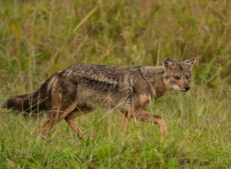 Side Striped Jackal in Samburu