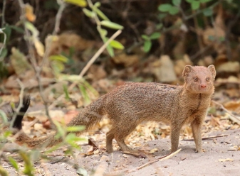 Slender Mongoose in Samburu