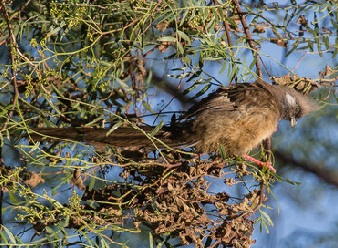 Speckled Mousebirds in Samburu