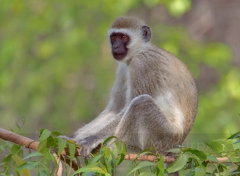 Vervet Monkeys in Samburu